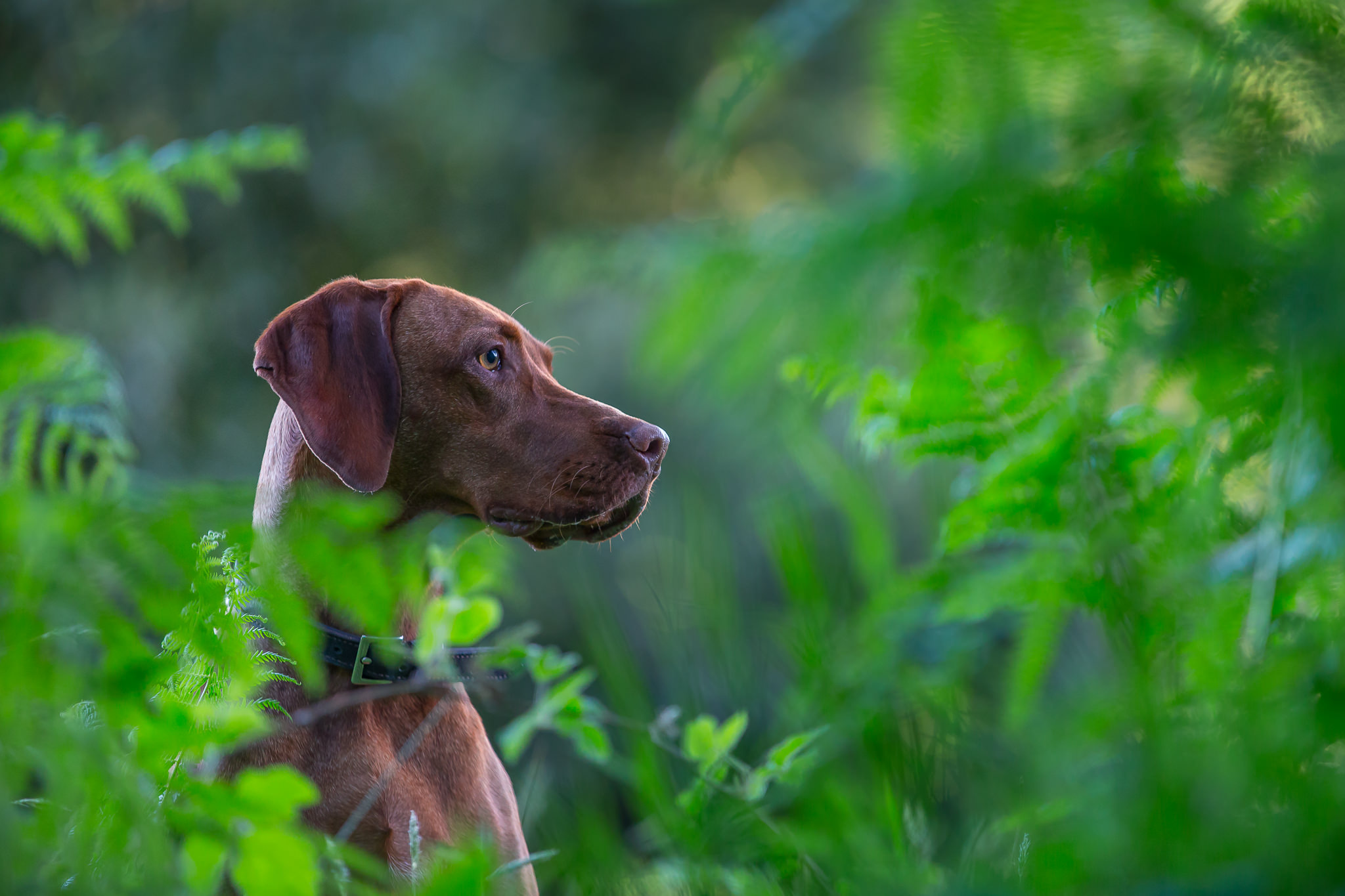 Beautiful-Dog-Portrait-Berkshire