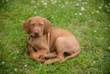 31-puppy-vizsla-dog-photogrpahy-portraits-at-home
