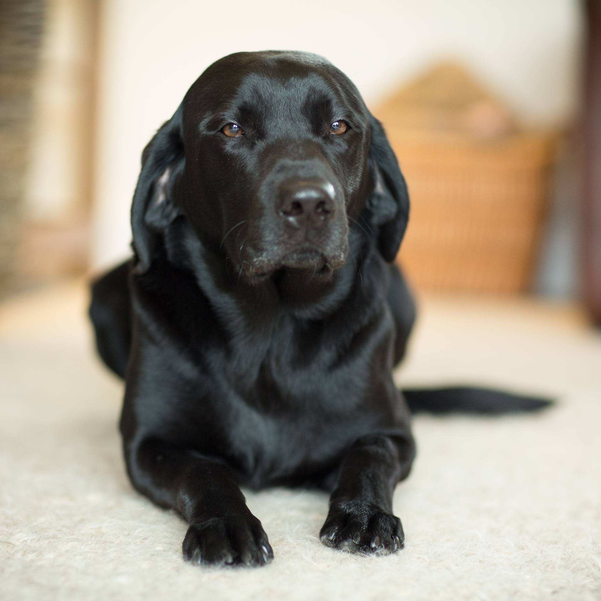 black labrador pet photography